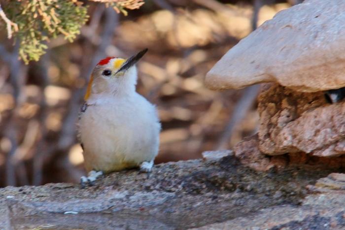Golden-fronted Woodpecker (26) (1024x684)