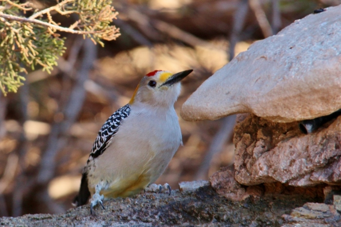 Golden-fronted Woodpecker (33) (1024x684)