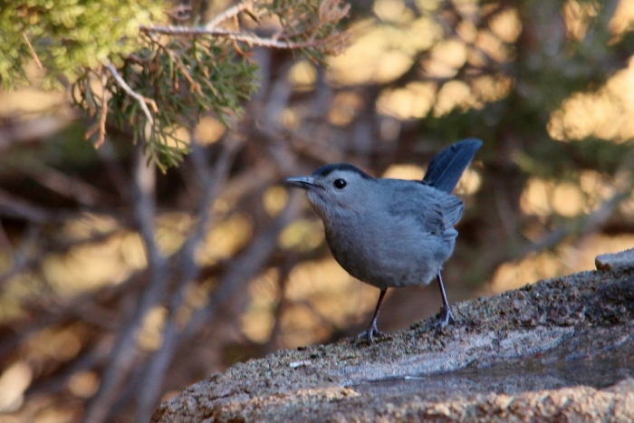Gray Catbird (1) (1024x684)