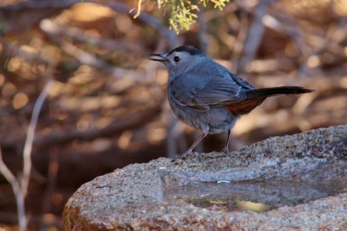 Gray Catbird (10) (1024x684)