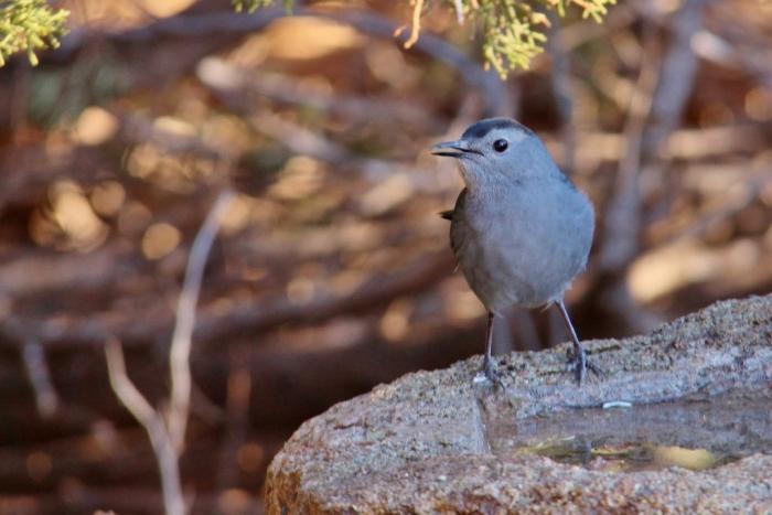 Gray Catbird (13) (1024x684)