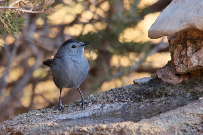 Gray Catbird (2) (1024x684)