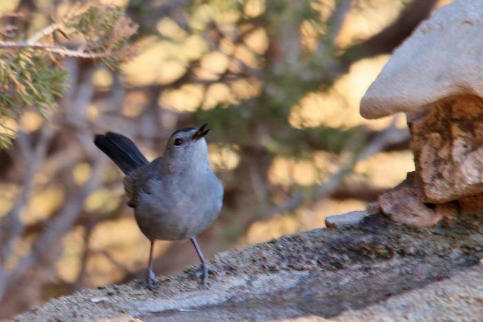 Gray Catbird (3) (1024x684)