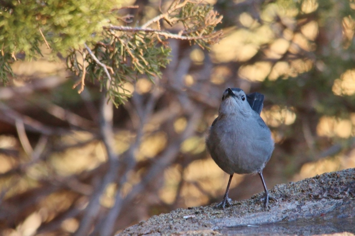 Gray Catbird (8) (1024x684)