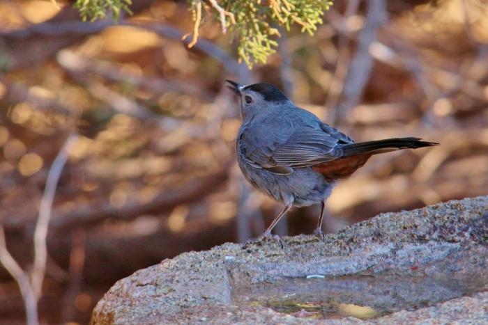 Gray Catbird (9) (1024x684)