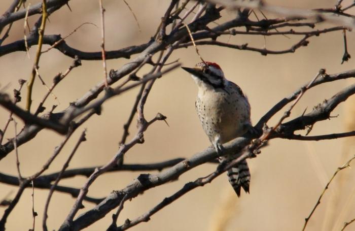 Ladder-backed Woodpecker (218) (1024x667)