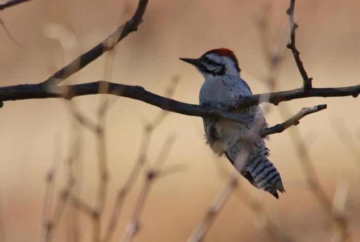 Ladder-backed Woodpecker (221) (1024x691)