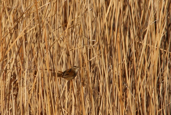 Marsh Wren (13) (1024x693)