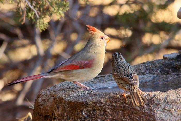 Northern Cardinaland Savannah Sparrow (1024x684)