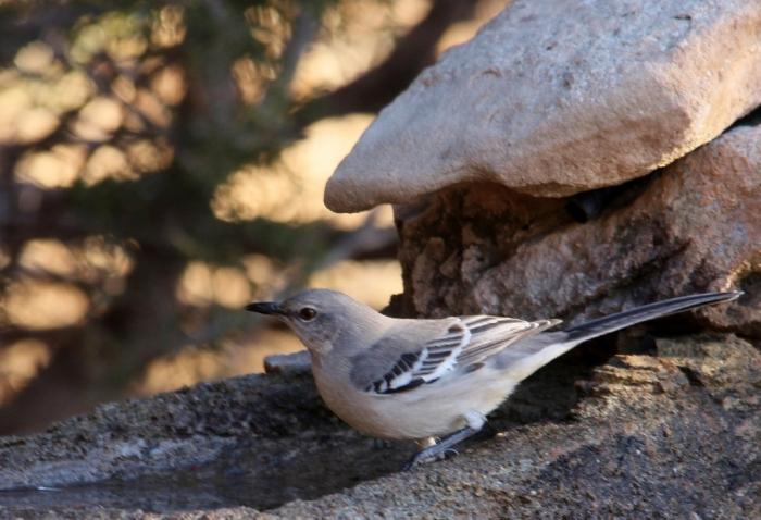 Northern Mockingbird (83) (1024x700)