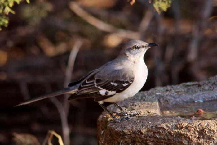 Northern Mockingbird (84) (1024x684)