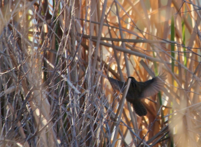 Marsh Wren (3) (1024x750)
