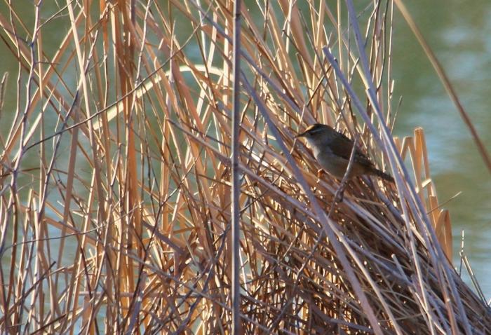 Marsh Wren (5) (1024x700)