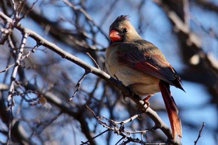 Northern Cardinal (1024x684)