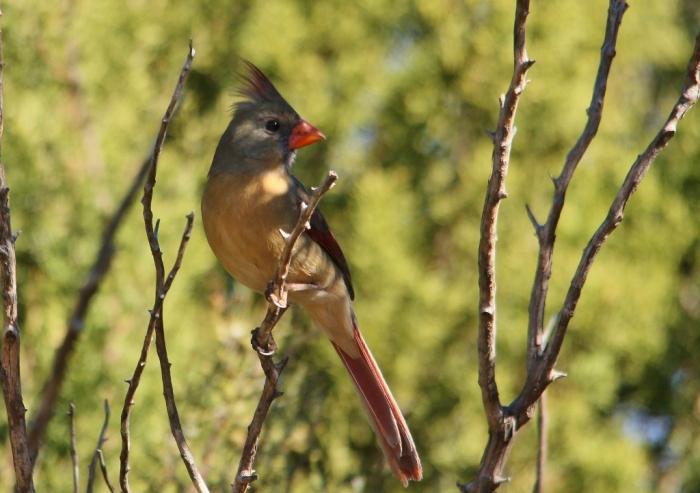 Northern Cardinal (5) (1024x722)