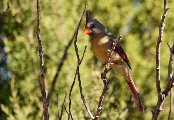 Northern Cardinal (6) (1024x709)