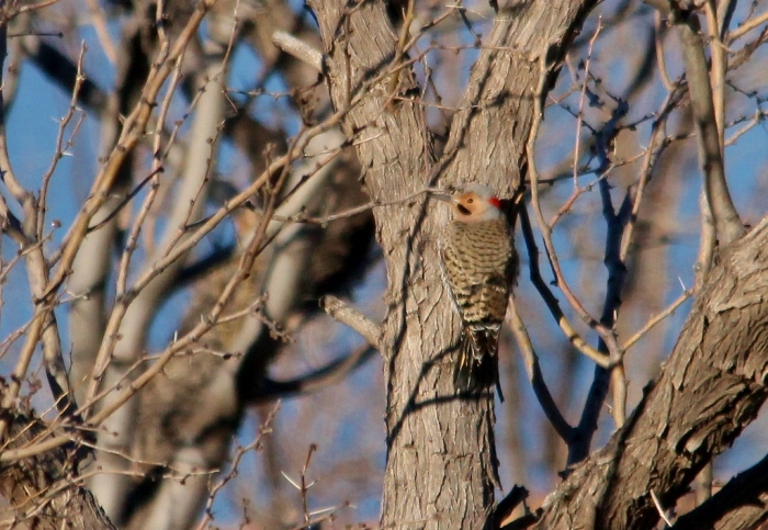 Northern Flicker (yellow-shafted) (2) (1024x707)