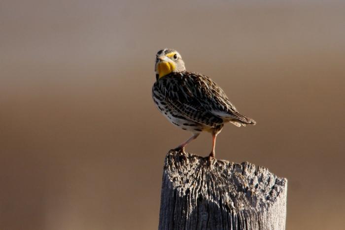 Western Meadowlark (3) (1024x684)