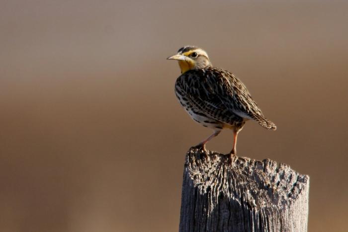 Western Meadowlark (7) (1024x684)