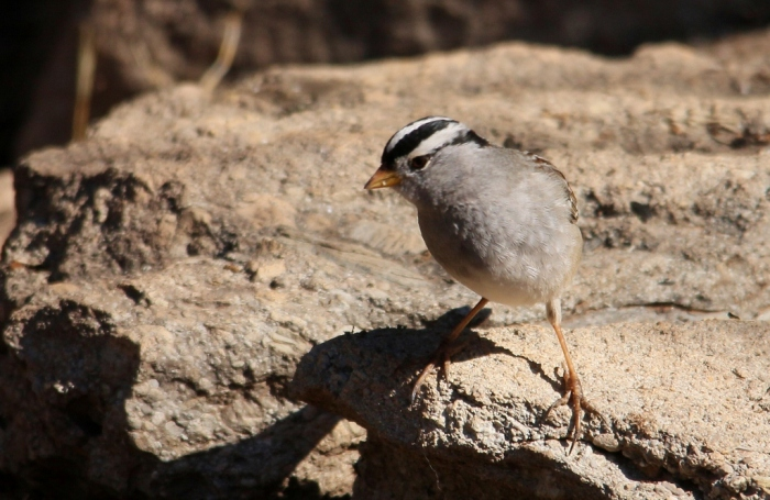 White-crowned Sparrow (3) (1024x667)