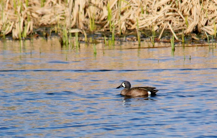 Blue-winged Teal (1024x651)