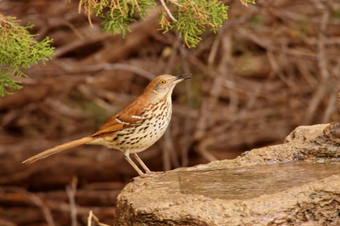 Brown Thrasher (1) (1024x683)