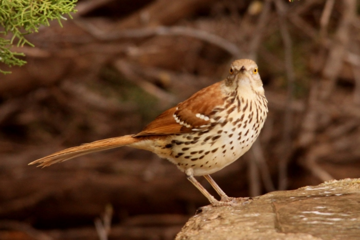 Brown Thrasher (3) (1024x684)
