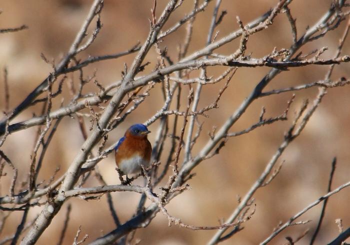 Eastern Bluebird (3) (1024x717)