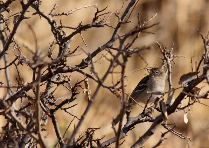 Field Sparrow(1024x726)