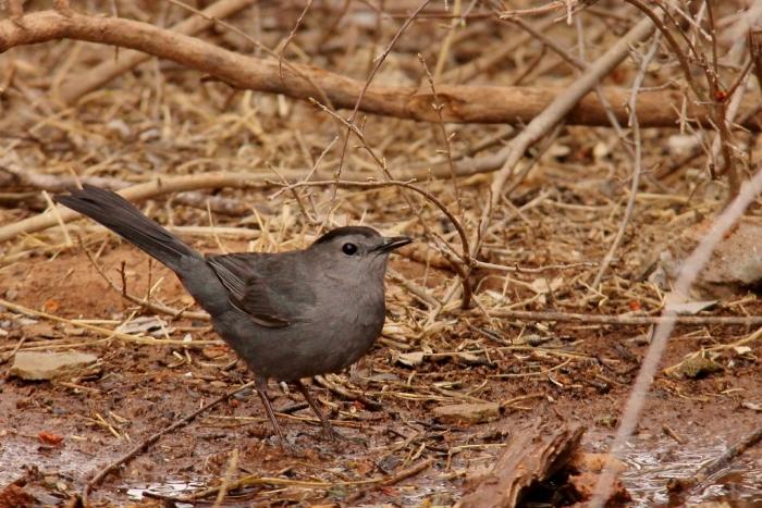 Gray Catbird (11) (1024x684)