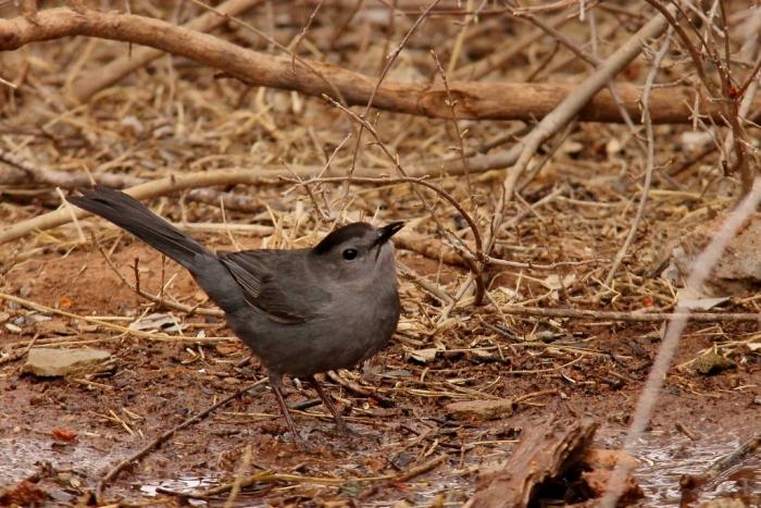 Gray Catbird (12) (1024x684)