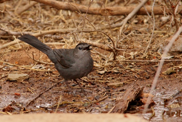 Gray Catbird (14) (1024x684)