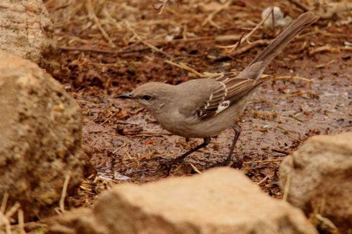 Gray Catbird (20) (1024x684)