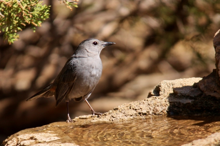 Gray Catbird (5) (1024x684)