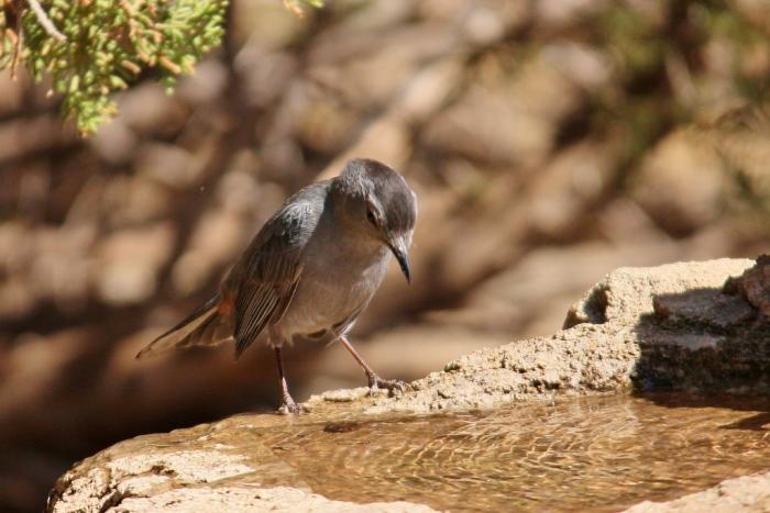 Gray Catbird (6) (1024x684)