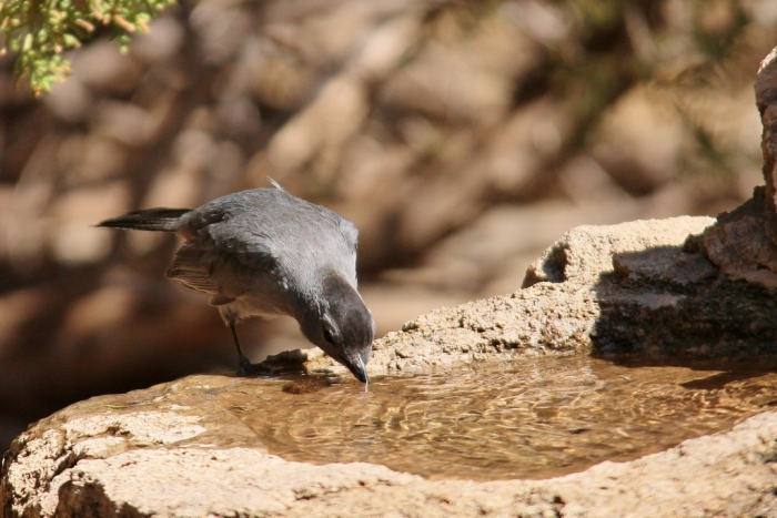 Gray Catbird (7) (1024x684)