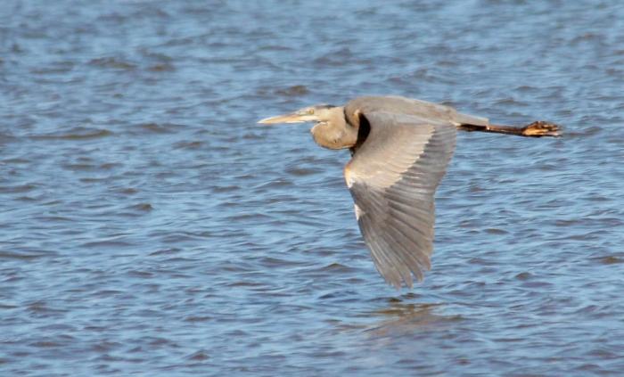 Great Blue Heron (4) (1024x619)