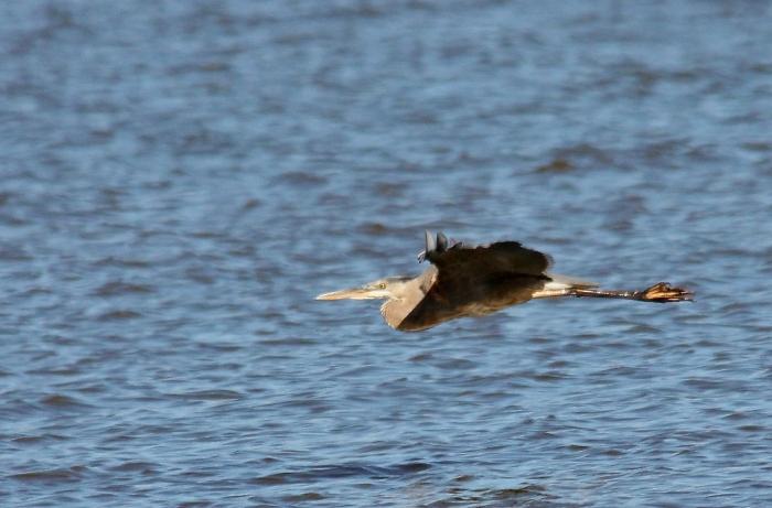 Great Blue Heron (5) (1024x675)