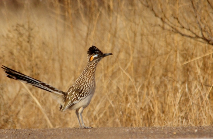 Greater Roadrunner (3) (1024x670)