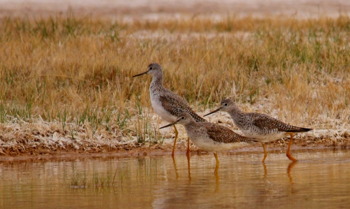 Greater Yellowlegs (12) (1024x614)