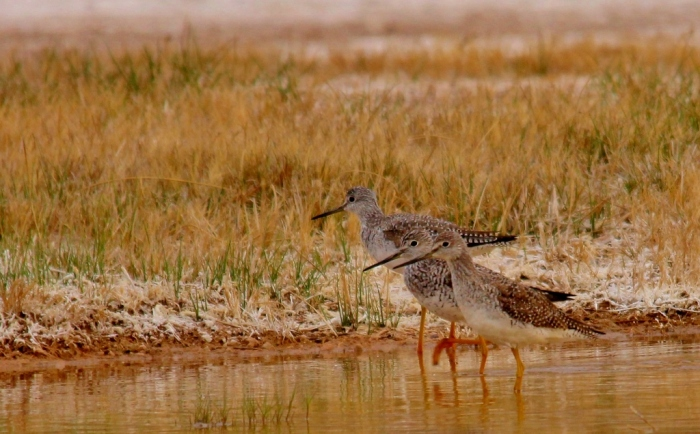 Greater Yellowlegs (13) (1024x636)