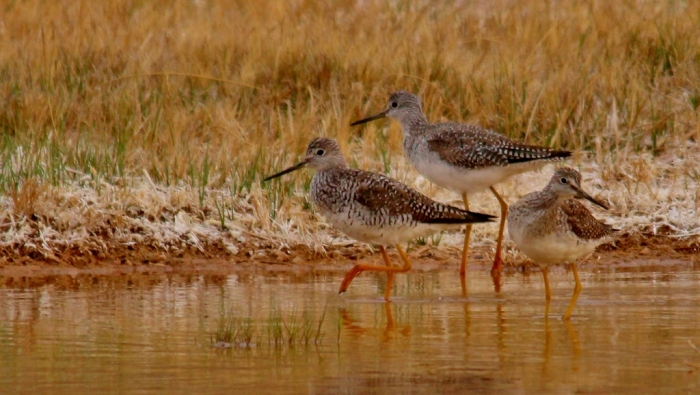 Greater Yellowlegs (14) (1024x578)