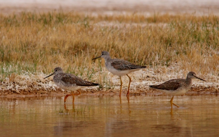 Greater Yellowlegs (17) (1024x640)