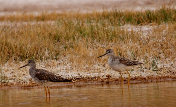 Greater Yellowlegs (21) (1024x627)