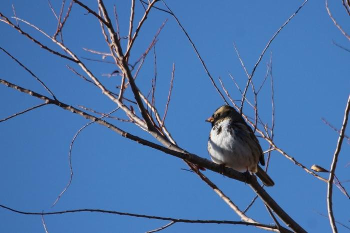 Harris's Sparrow (1) (1024x684)