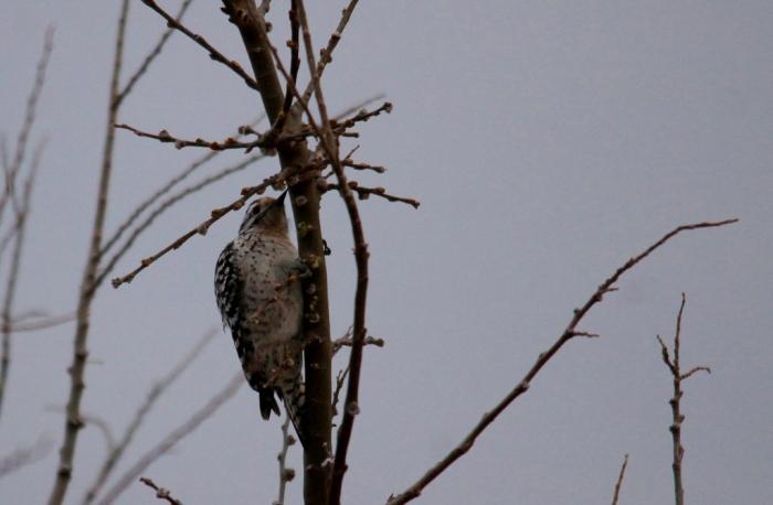 Ladder-backed Woodpecker (1) (1024x670)