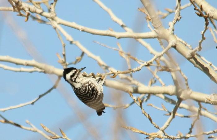 Ladder-backed Woodpecker (2) (1024x661)
