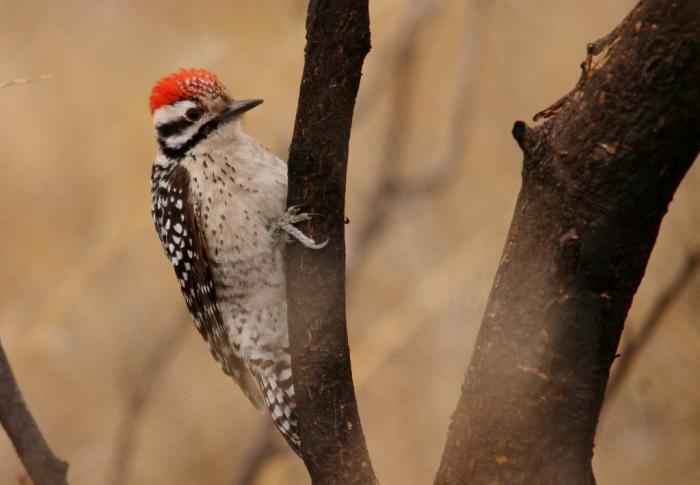 Ladder-backed Woodpecker (5) (1024x710)