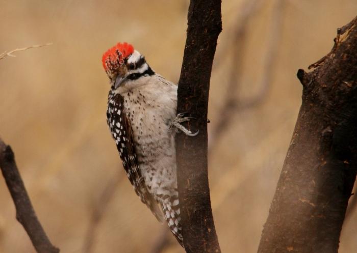 Ladder-backed Woodpecker (6) (1024x728)