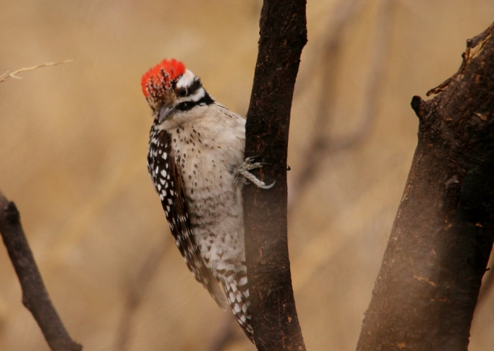 Ladder-backed Woodpecker (6) (1024x728)